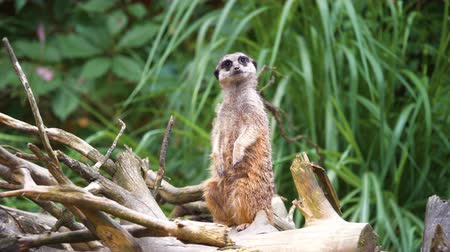 nervous : 4K - Meerkat looks around