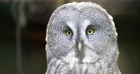 predatório : 4K - Great Grey Owl