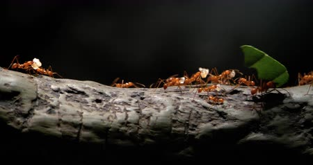 4K - Colony of leaf-cutting ants moves on a tree