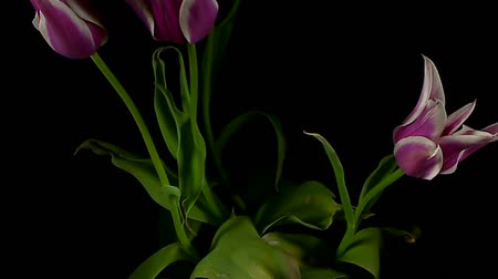 tulipany : flowering tulips Wideo
