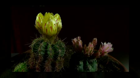 blooms : yellow and pink cactus bloom sche