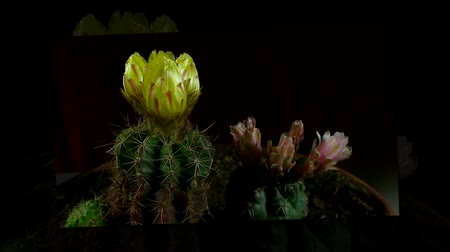 kaktusz : yellow and pink cactus bloom sche