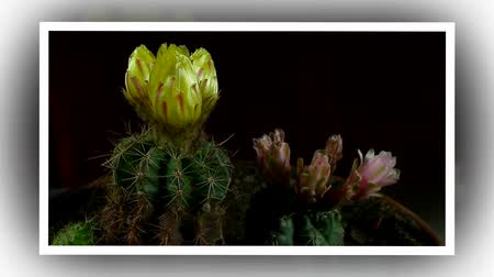 blooms : Time lapse of opening and closing cactus flowers. Yellow and pink. Stock Footage