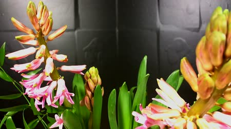 jacinto : macro time lapse video of a pink hyacinth flower (Hyacinthus orientalis) growing and blossoming on a black background Pink Hyacinth Flower Blooming Macro Timelapse