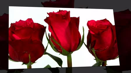 bunch of red roses isolated on white in line and moving on screen