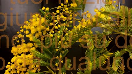 akacja : Mimosa. Mimosa Spring Flowers black background. Blooming mimosa. With moving write.