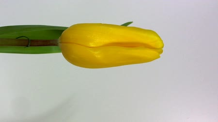 Flower Bed Of Yellow Tulip. Beautiful indoor scenery blooming