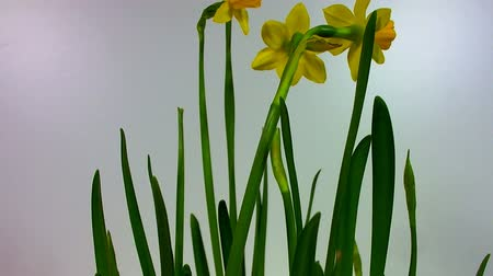 żonkile : Two daffodils opening in a time lapse sequence