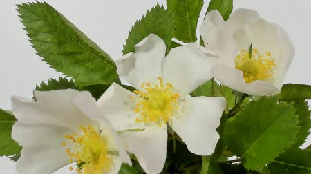 white out : Timelapse on White Wild Rose flowers. Close up. Rambler Rosa Multiflora bush sways on a spring breeze. Concept of springtime, nature. Gardening concept.