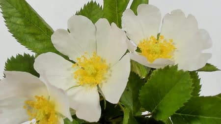 избирательный подход : Timelapse on White Wild Rose flowers. Close up. Rambler Rosa Multiflora bush sways on a spring breeze. Concept of springtime, nature. Gardening concept.
