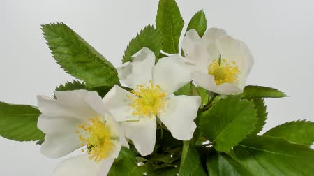 bibe : Timelapse on White Wild Rose flowers. Close up. Rambler Rosa Multiflora bush sways on a spring breeze. Concept of springtime, nature. Gardening concept.