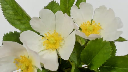 extreme close up : Timelapse on White Wild Rose flowers. Close up. Rambler Rosa Multiflora bush sways on a spring breeze. Concept of springtime, nature. Gardening concept.