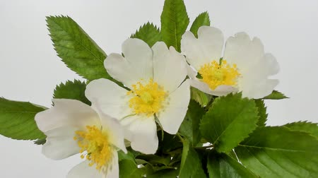 Роуз : Timelapse on White Wild Rose flowers. Close up. Rambler Rosa Multiflora bush sways on a spring breeze. Concept of springtime, nature. Gardening concept.