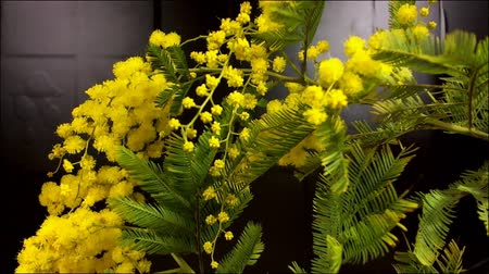 akacja : Mimosa Spring Flowers black background. Blooming mimosa. With move.
