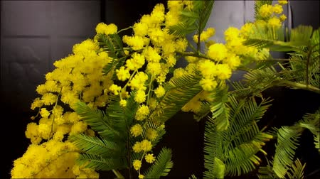 акация : Mimosa Spring Flowers black background. Blooming mimosa. With move.