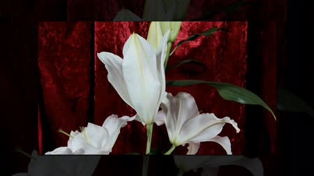mais : Blooming white lily flower buds (Lilium Samur), timelapse footage. Close up, macro. with red background.