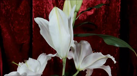 詳しい : Blooming white lily flower buds (Lilium Samur), timelapse footage. Close up, macro. with red background.
