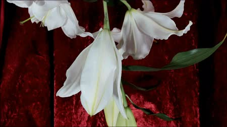 estames : Blooming white lily flower buds (Lilium Samur), timelapse footage. Close up, macro. with red background.