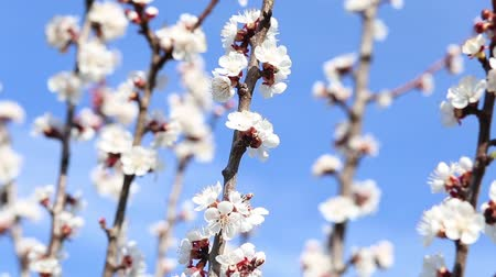 опылять : Blooming tree and bees collecting nectar in spring