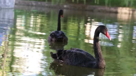 swans swimming : Black swan on a lake Stock Footage