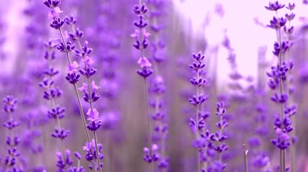 homeopathic : Blooming lavender flowers