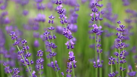 homeopati : Blooming lavender flowers
