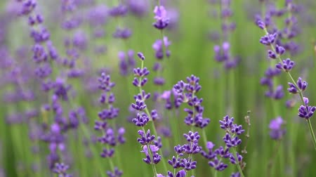 aromaterapia : Blooming lavender flowers