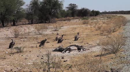 ded : Group of African White Backed Vultures near ded animal in Botswana, South Africa