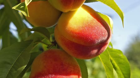 şeftali : close up of the ripe fruit peach Stok Video