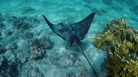 stingray : Underwater view of a stingray fish in the red sea