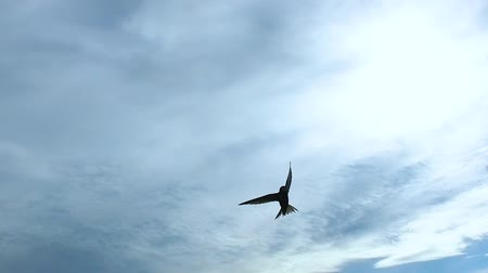 The slow flight of the black swift (lat. APUS) in the sky close up. 120fps.