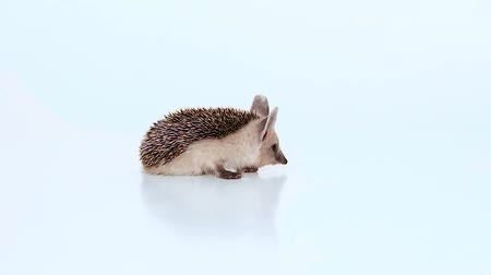 Small hedgehog turns on a white background.