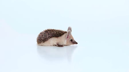 Little hedgehog lies in the center of the frame on a white background. Стоковые видеозаписи