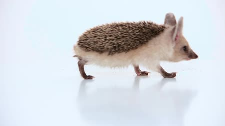 Small hedgehog slowly leaves on a white background. Close-up. Стоковые видеозаписи