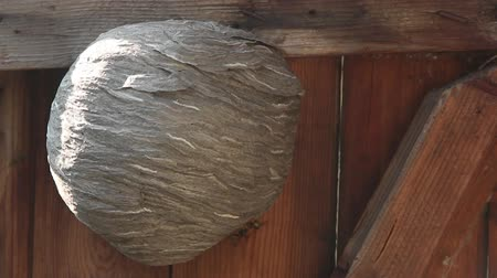 хрупкость : Life of insects. Wasps are flying. An aspen nest on a wooden door. Close-up.