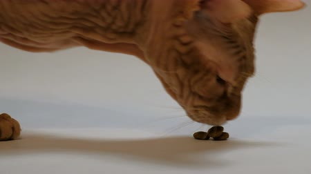 esfinge : Three pieces of dry cat food are stacked on a pyramid on a white background. A close-up of the muzzle of the Don Sphynx breed, eats food for pets.