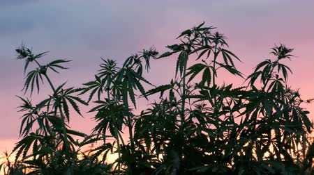 dispensary : Silhouette of the top of branches of wild hemp on a background of sunset. Cultivation of the cannabis. Stock Footage