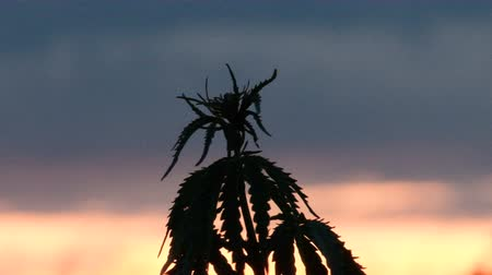 dispensary : Close-up of the top of a branch of a young hemp branch swaying in the wind against the background of a sunset in the sky. Cannabis cultivation or wild plants. Legalization of drugs.