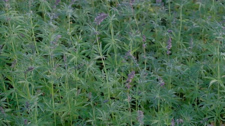 dispanser : Violet inflorescences on the top of cannabis crochet in the wind. Hemp field during the flowering period. Video shooting from the hands of sprouts of young marijuana. View from above.