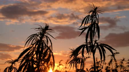 questão : Silhouette of the top of branches of wild hemp on a background of sunset. Cultivation of the cannabis. The concept of legalization of marijuana. Accelerated video or time-lapse.