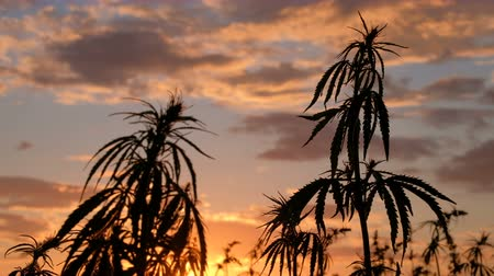 questão : Silhouette of the top of branches of wild hemp on a background of sunset. Cultivation of the cannabis. Legalization of marijuana. Stock Footage