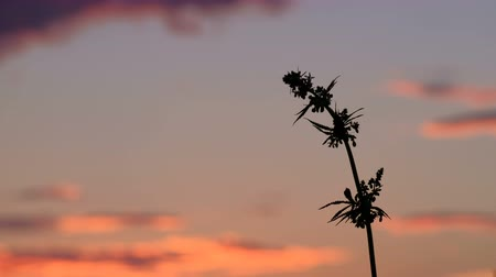 dispensary : One branch of cannabis against the background of the evening sky. The top of a hemp plant with seeds at sunset.