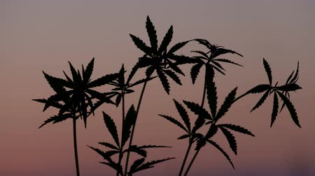 конопля : Several tops of young hemp against the background of the evening pink sky. Silhouette of cannabis sprouts moving in the wind at sunset.