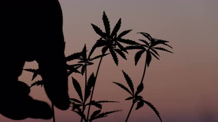 dispanser : The human hand, close up, removes one of the tops of a young hemp against the background of an evening pink sky. Silhouette of cannabis sprouts at sunset. Cultivation and legalization of marijuana. Stok Video