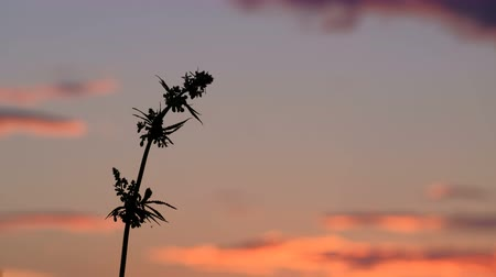 thc : The top of a hemp plant with seeds at sunset. One branch of cannabis against the background of the evening sky. Cultivation and legalization of marijuana.