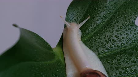 koníčky : Achatina fulica - a large snail slowly creeps over the plant on a green leaf with drops of water. Close-up.