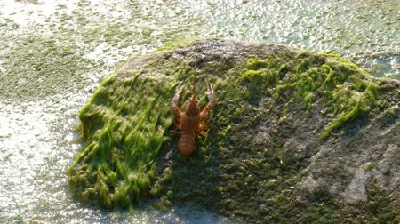 crab eating : One young river crawfish moves backwards on a stone covered with green waterways into water.