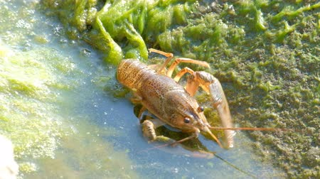благородный : Movement of wild crayfish backwards. Algae and green mud on the stone and water.