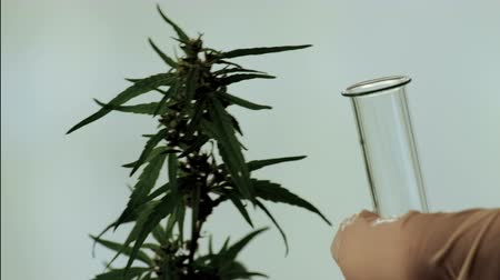 thc : Quality control of cannabis seeds and leaves. A close-up of the hands of a lab technician or criminalist in white gloves with tweezers and a test tube. concept of legalizing marijuana, drug testing. Stock Footage