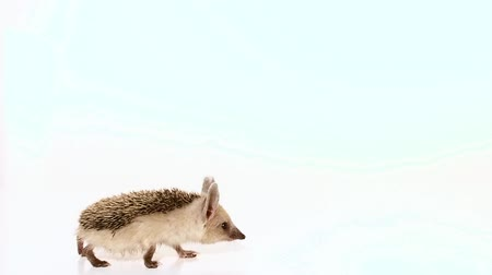 spiny : Slow Motion. Little long-haired hedgehog (lat. Hemiechinus auritus) goes from left to right screen isolated on white background. Stock Footage